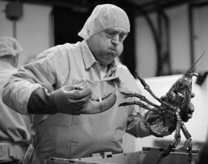 FRANK CARLSON BREAKS A CLAW OFF a lobster at the Sea Hag Seafood processing plant in St. George, in this 2014 file photo. Retail prices for lobsters have remained high into September 2016 with consumers typically paying a few dollars more than the previous year. A market analyst said the growing demand for processed lobster products could keep the price high in the future.