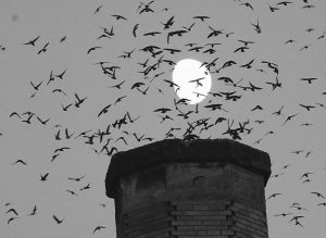 THE MOON is visible in the background as a multitude of migratory Vaux's Swifts flock to roost for the night inside a large, brick chimney at Chapman Elementary School in Portland, Oregon, earlier this month. Numbers of Vaux's Swifts are in decline, in part scientists say because of the destruction of the brick chimneys that they use to roost during their annual fall migration.
