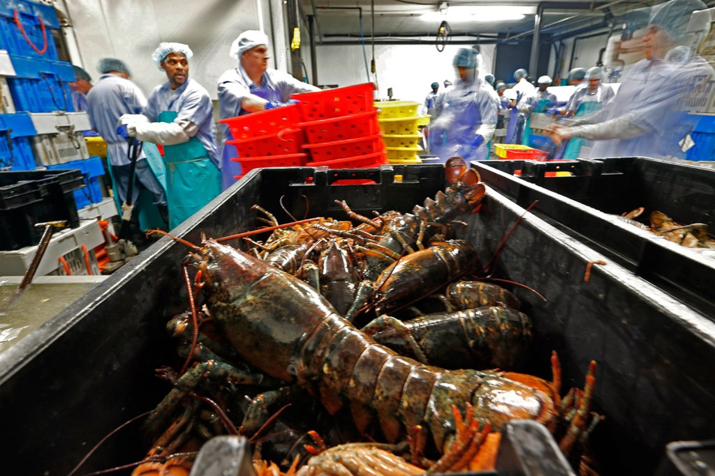 Lobsters are processed at the Sea Hag Seafood plant in St. George in 2014. It has become increasingly popular to celebrate the Chinese New Year holiday with lobster, which falls on Jan. 28 this year.