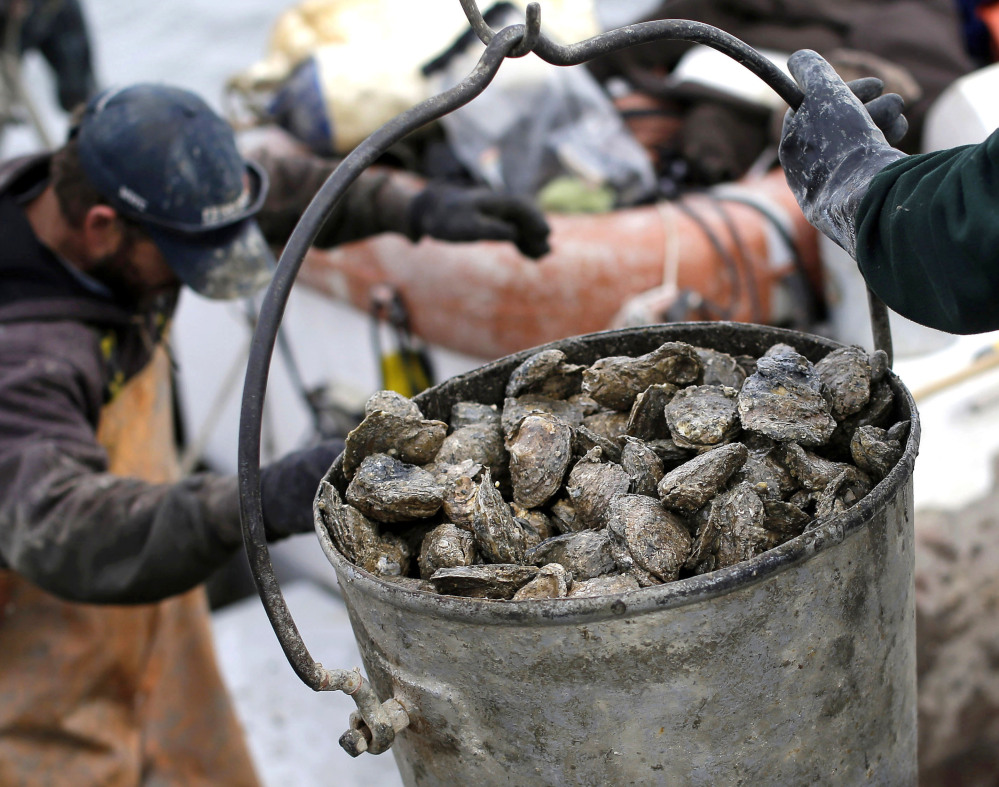 Oysters are unloaded on Deal Island, Md., in 2013. UNH researchers have discovered a new strain of disease-causing bacteria thriving along the Atlantic Coast.