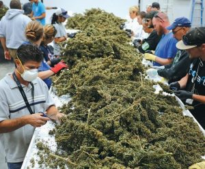 FARMWORKERS REMOVE stems and leaves from newly harvested marijuana plants at Los Suenos Farms, America's largest legal open air marijuana farm, in Avondale, Colorado.