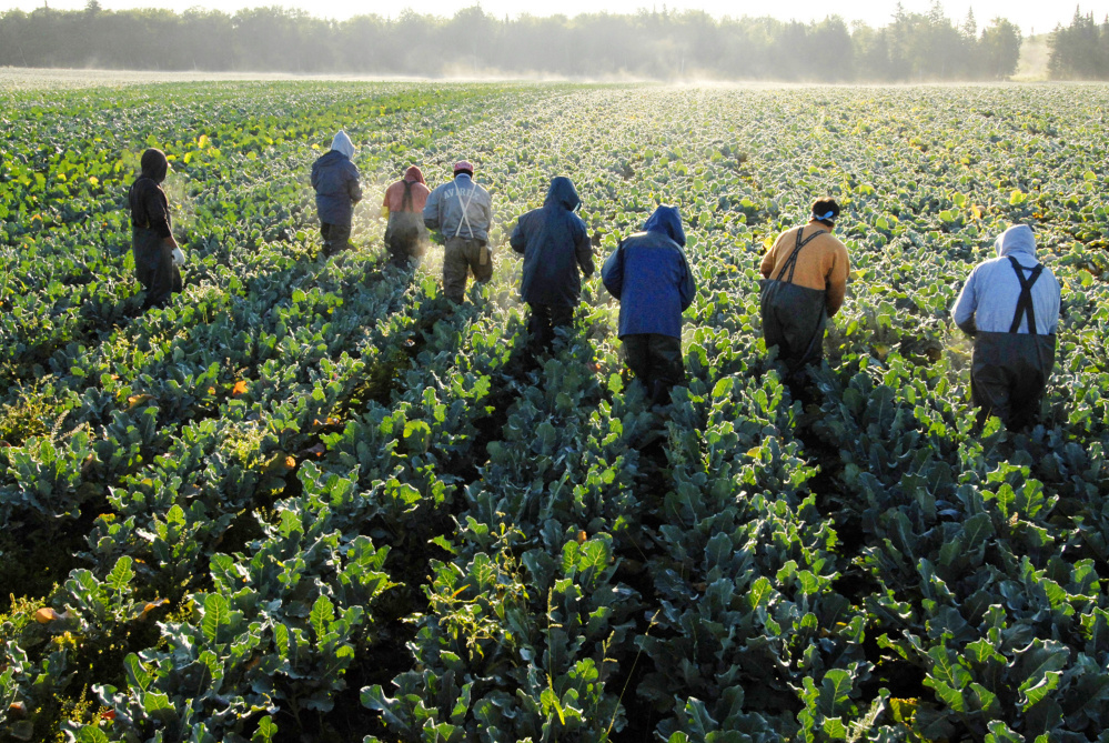 """Farmworkers, mostly from Mexico and El Salvador, cut broccoli stalks at Smith's Farm in 2006 near Fort Fairfield in Aroostook County. Emily Smith, the farm's president, says the 200 foreign-born workers she relies on for her harvests """"make big money and they deserve every penny."""""""