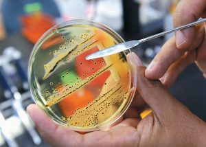 DR. MANSOUR SAMADPOUR points out a growth of salmonella in a petri dish at IEH Laboratories in Lake Forest Park, Washington. The World Health Organization has issued a list of the top dozen bacteria most dangerous to humans.