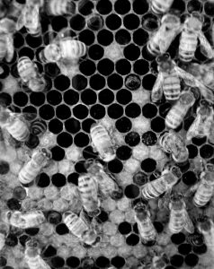 THE DECLINE IN BEE POPULATIONS has become a major environmental cause in recent years.
