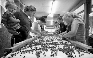 WORKERS PROCESS WILD BLUEBERRIES at the Ridgeberry Farm in Appleton. Maine's governor and members of its blueberry industry fear losing growers due to a depression in prices that has made growing the beloved crop a less reliable way to make a living.