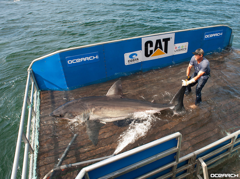 Because of a great white shark's ability to elevate its body temperature, Betsy is unfazed by cold water and likely frequents the Gulf of Maine in pursuit of abundant prey such as gray seals, spiny dogfish, tuna and harbor porpoise.
