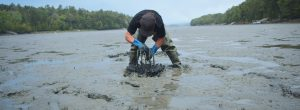 A CLAMMER is shown harvesting in a Midcoast mud flat. Clams are starting to disappear, but the culprit isn't the notorious shellfish-eating green crab — it's the milky ribbon worm.