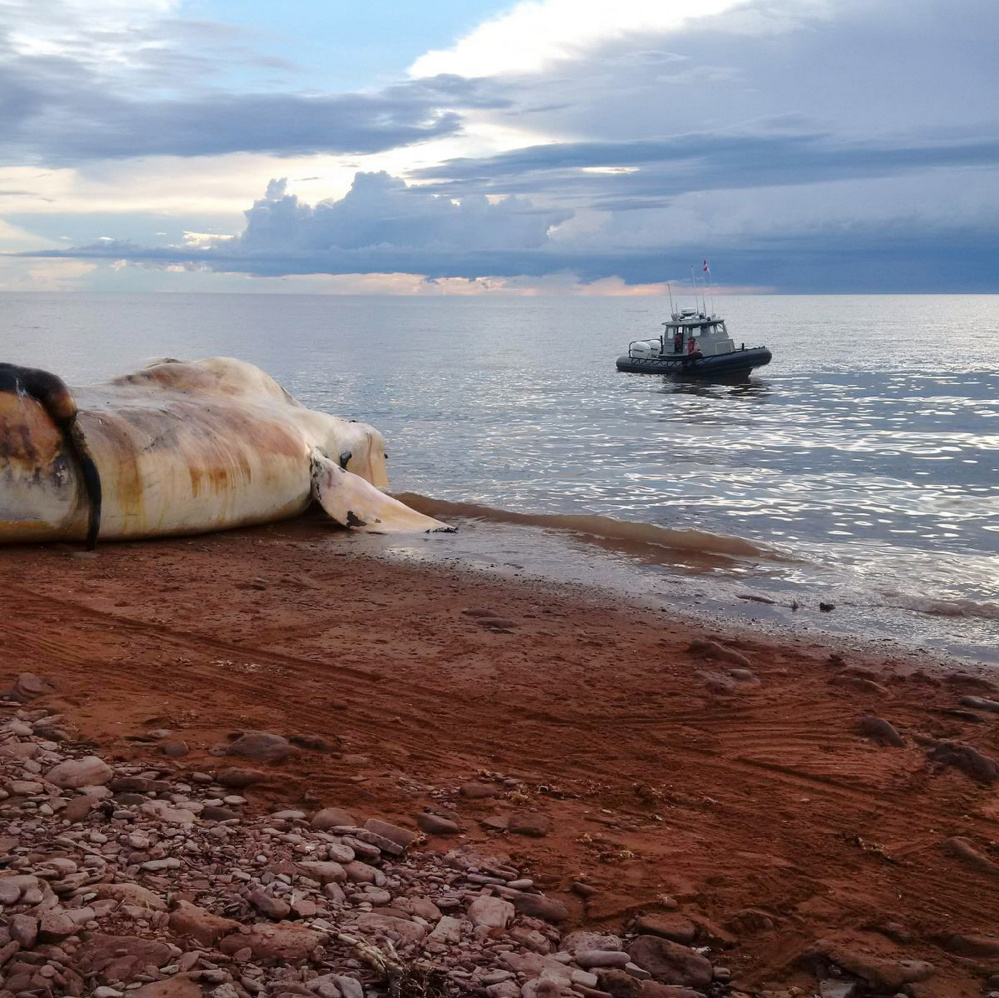 A dead right whale is beached near Norway, Prince Edward Island, in this contributed undated photo. Endangered North Atlantic right whales have had the worst die-off on record, with at least 12 of the mammals killed in Atlantic Canada and New England waters this summer.