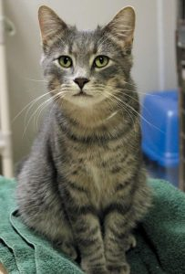 ROMEO the cat is available for adoption through the Coastal Humane Society.