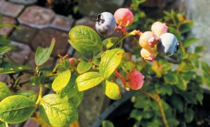 THIS PHOTO shows blueberries growing in a pot in a patio garden near Langley, Washington.