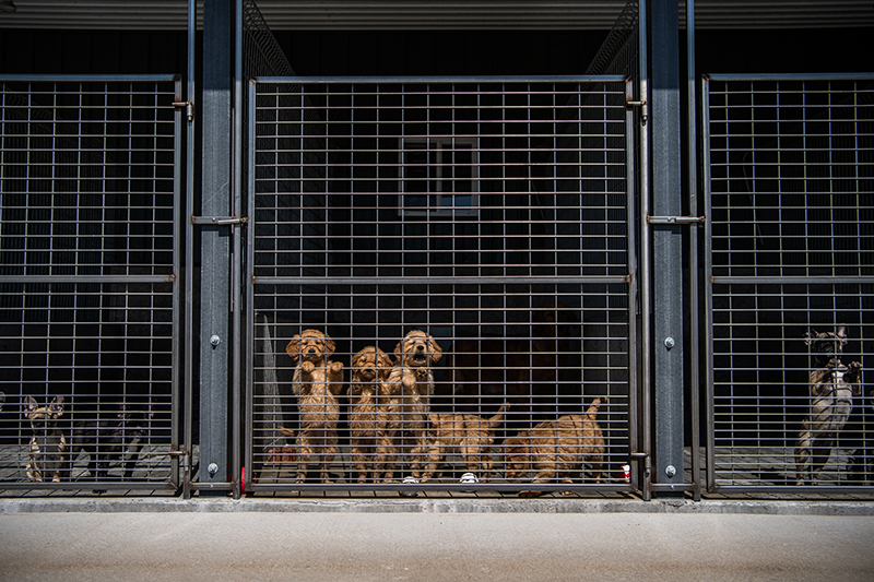 Golden retriever puppies, center, gather near the gate at the Sugarfork Kennels in Goodman, Mo.