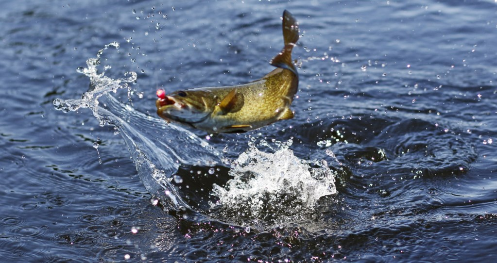 Though smallmouth bass can tolerate rougher handling than some species – such as salmon and brook trout – they shouldn't be left out of the water too long before being released.