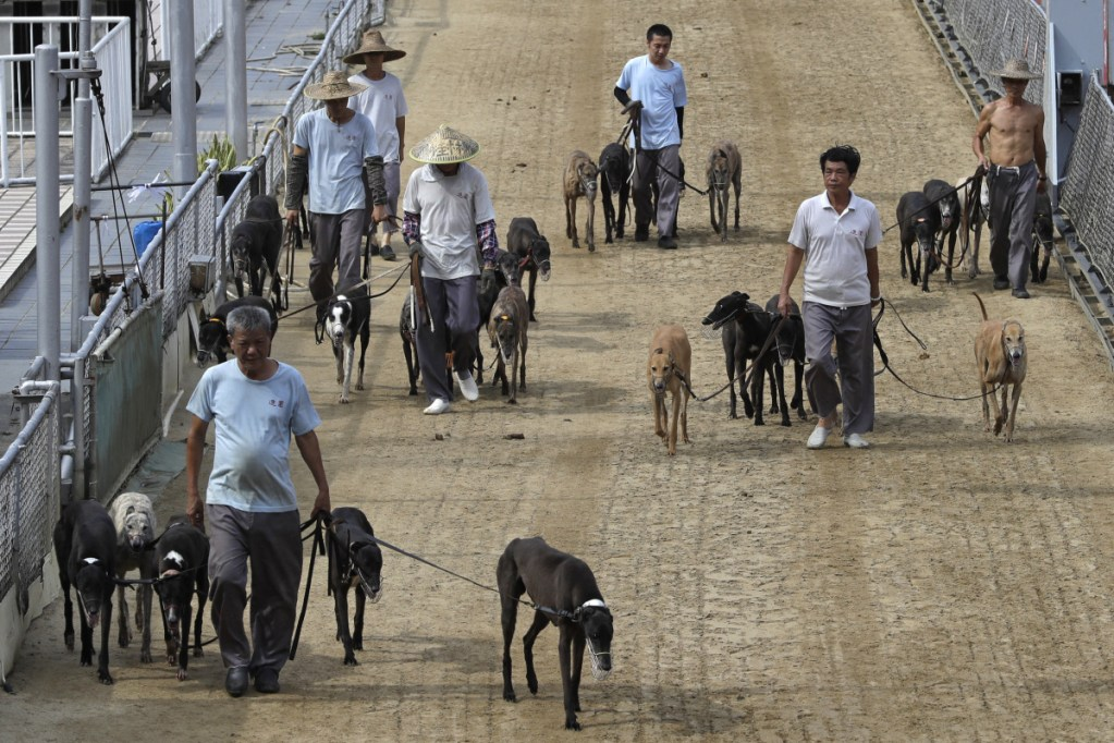 Dog handlers escort the greyhounds walking at the track of the Yat Yuen Canidrome in Macau. Macau authorities took in more than 500 greyhounds abandoned following the closure of Asia's only legal dog-racing track on Saturday.