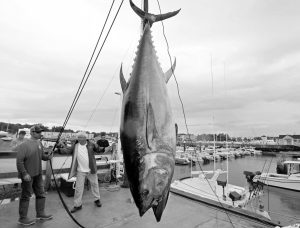 A 422 LB. ATLANTIC BLUEFIN TUNA is hoisted from a boat at the South Portland, as seen Aug. 4. A decade ago, participants in the Sturdivant Island Tuna Tournament went consecutive years in which they didn't catch a single fish in the Gulf of Maine. This year, fishermen set a record with 30, including the 801-pound winner. AP PHOTO/ROBERT F. BUKATY