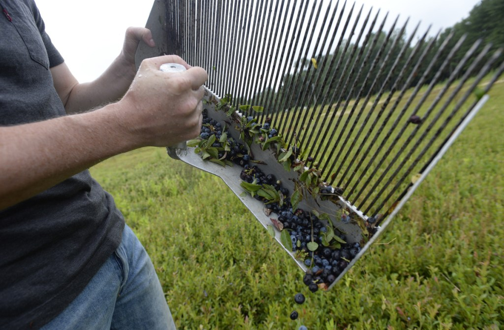 Tyler Bridges dumps a rakeful of wild blueberries into a wooden crate in a field in Crawford last month. Despite a financial situation that has reached crisis levels, the Bridges family has a three-generations-deep commitment to its 300 acres of fields Down East.