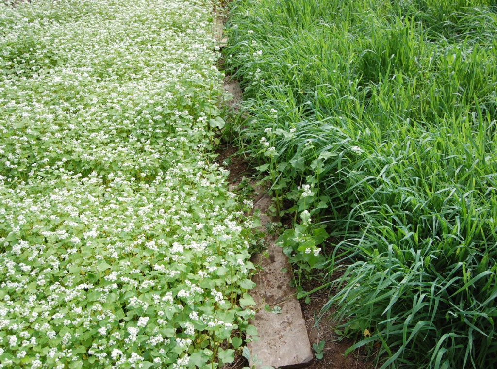 Buckwheat in bloom alongside common oats. Both grow relatively quickly, and do well in acidic soils.
