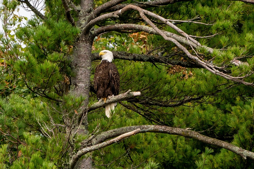 """A bald eagle sits in a tree during the """"Bald Eagles of Merrymeeting Bay"""" tour sponsored by Maine Audubon on Sept. 22. The group spotted 47 eagles, the third most in the trip's 50-year history."""