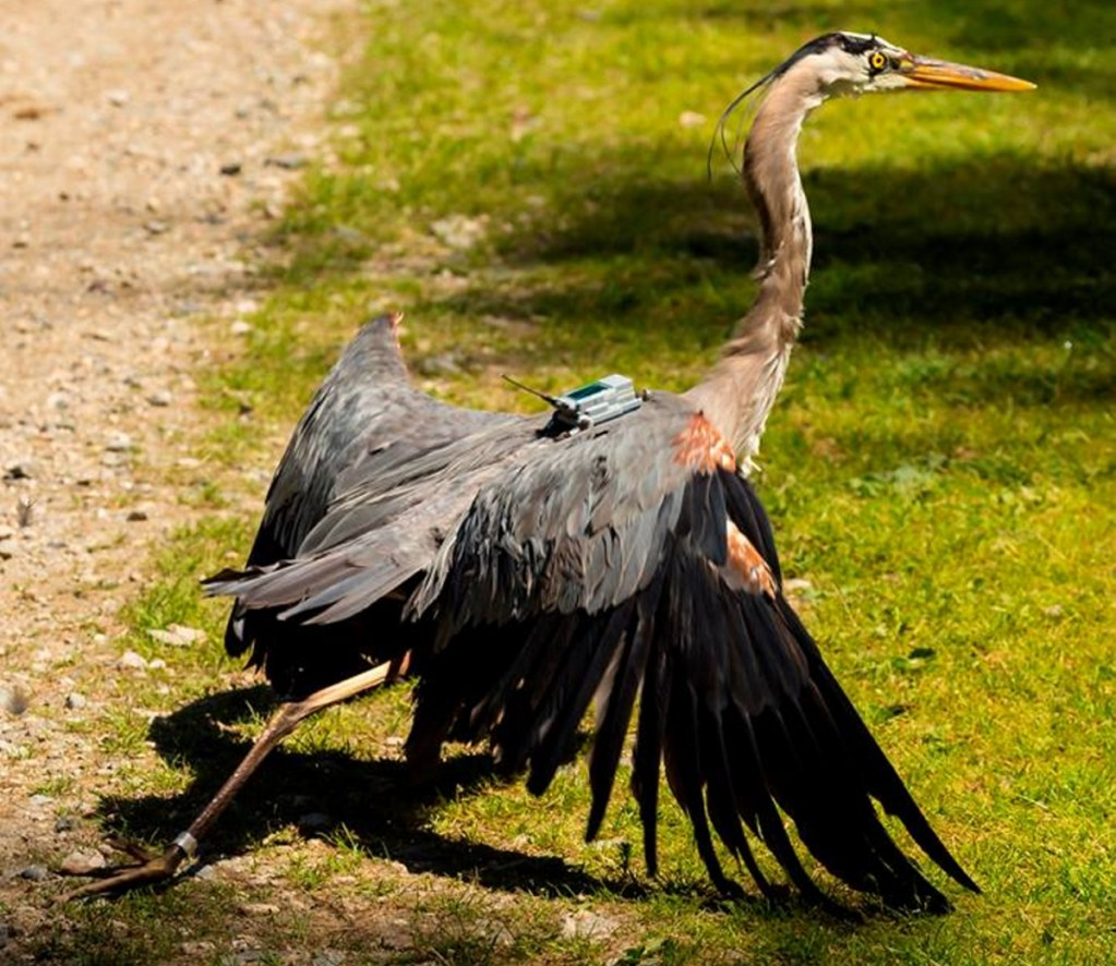 A tracking project recently identified one heron that just returned to Haiti for the third year in a row.