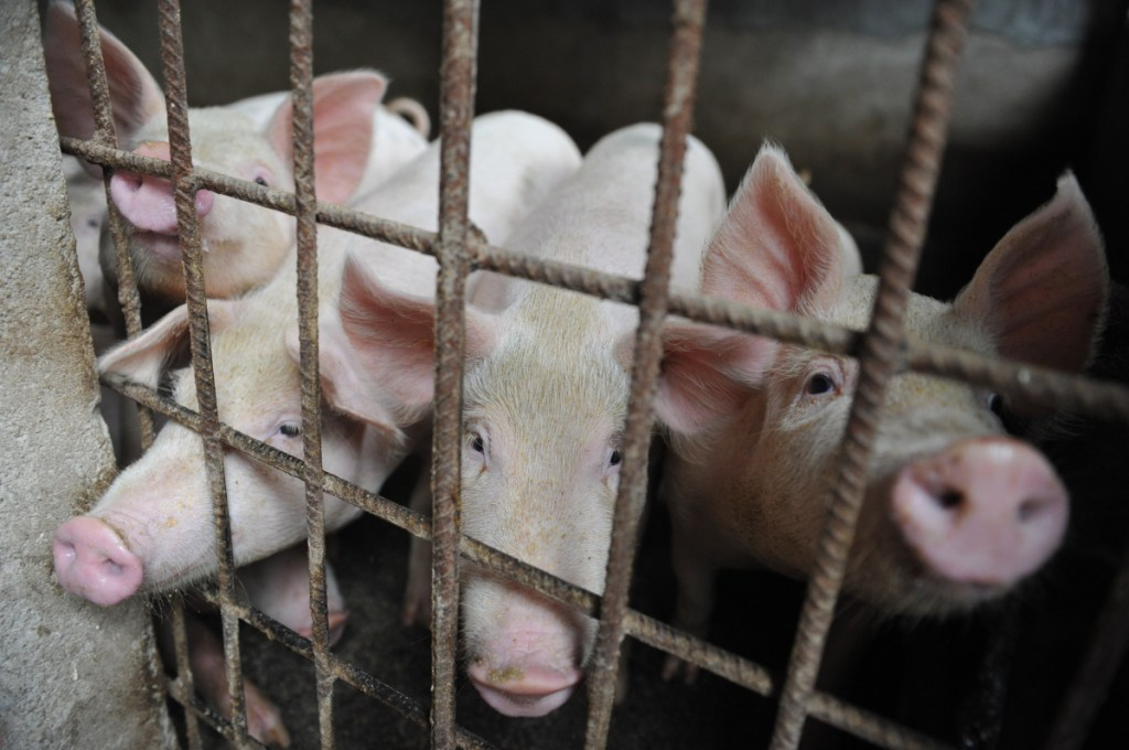 First detected in August, swine fever has killed 1 million pigs in China, disrupting supplies of the country's staple meat.