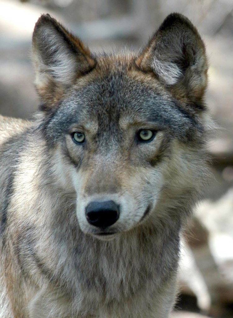Gray wolves are avoiding extinction because of their protected status, a reader says, and we must urge our senators to oppose the removal of this protection.