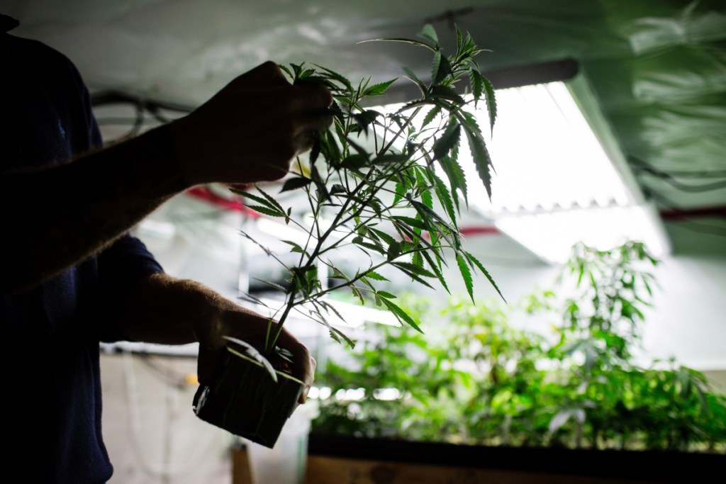 Canadian pot marketers want workers well-versed in various aspects such as cultivation and health and safety regulations. Bloomberg/Ben Nelms