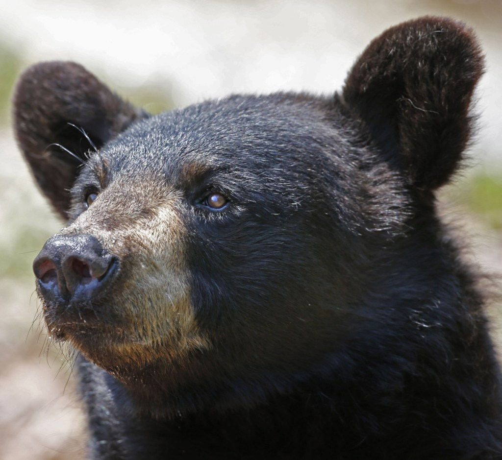 The bear population in Maine is rapidly approaching – and in some areas may have already reached – an intolerable level.