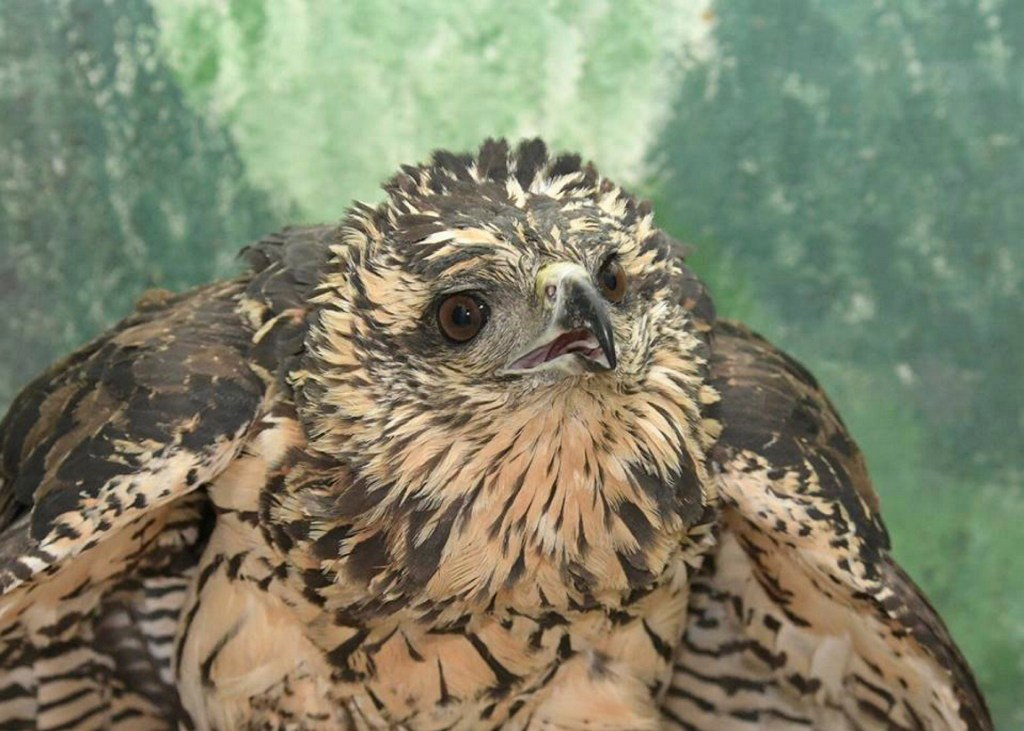 The black hawk photographed at Avian Haven after it was rescued and was undergoing treatment.