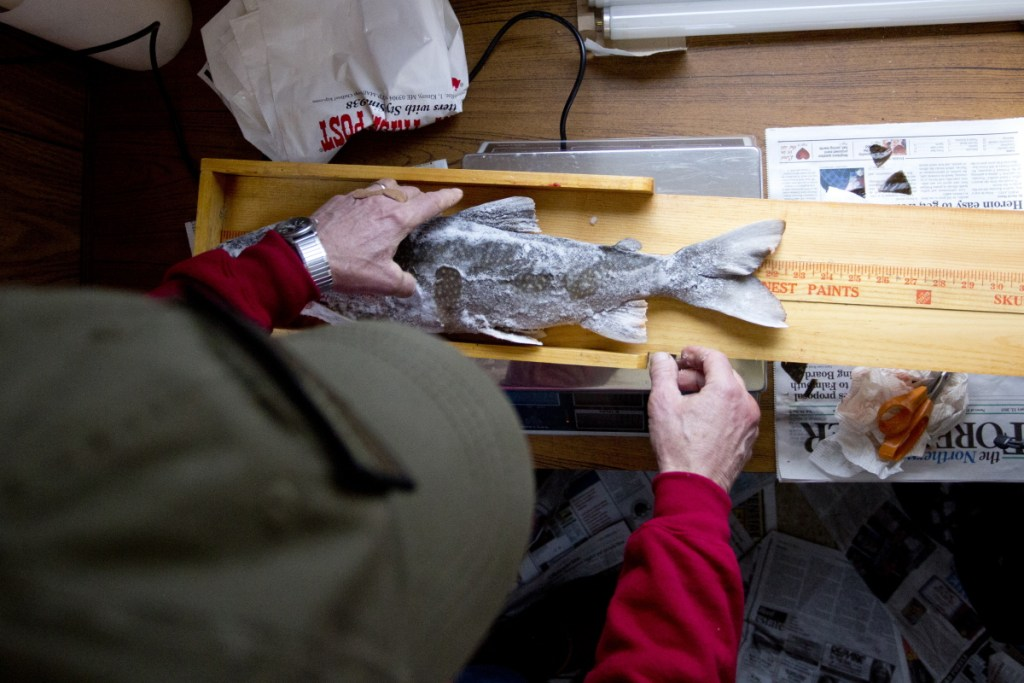 Karl Hartwell, weigh station attendant at the Standish boat ramp station, measures a togue caught by Sam Hopkins of Dover, N.H., in the Sebago Lake Ice Fishing Derby in 2015. The fish was 22 inches and 4.07 pounds.