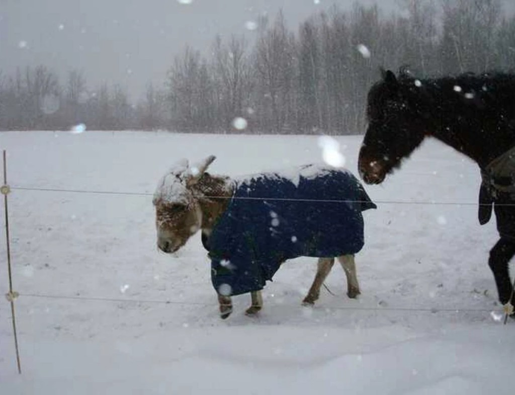 Elmo and Polo walk through the snow. After Patti Truman was forced to find her beloved pets new homes, she turned to Maine Horse Matchmaker, whose website allows owners to submit information about their animals and connect with people offering to adopt them. The pair was taken in by a New Hampshire woman.