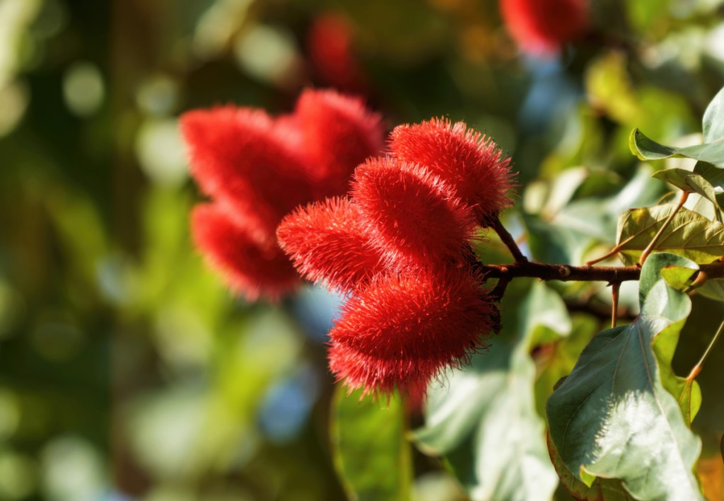 The seed pods of the Achiote plant, also known as annatto, contain a red coloring that today is used commercially as a food coloring.