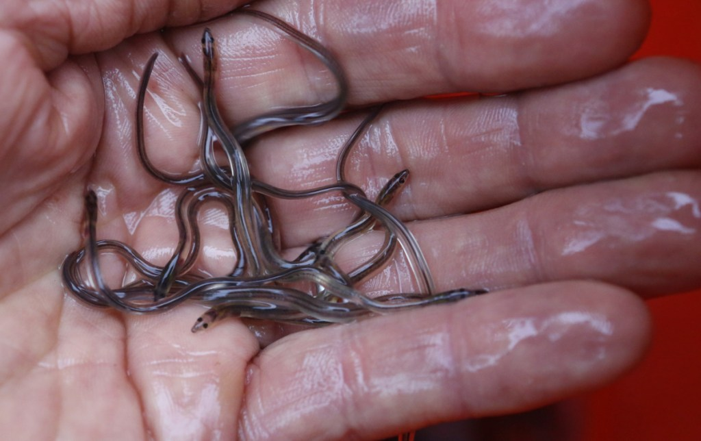 Elver season began on Friday, and fishermen hope it isn't interrupted by poaching as it was last year.
