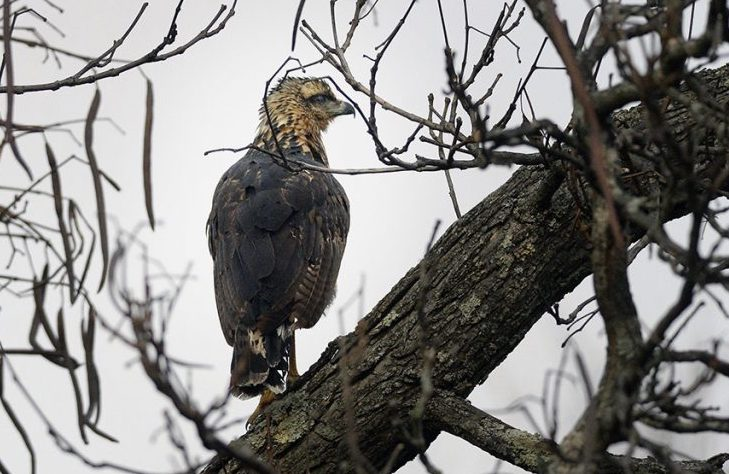 The great black hawk perches in a tree in Deering Oaks on Nov. 29. The bird, native to Central and South America, became an attraction at the park before it succumbed to winter weather.