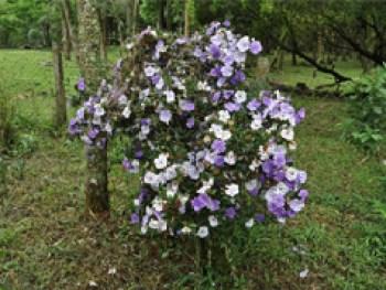 Brunfelsia pilosa
