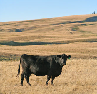 Black angus cow grassland