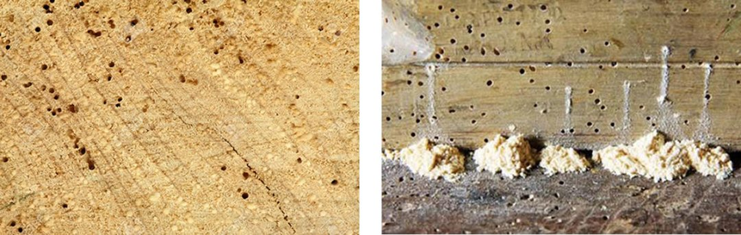 woodworm signs
