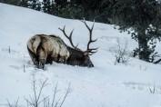 King of Yellowstone