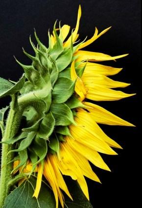 Portrait of a Sunflower