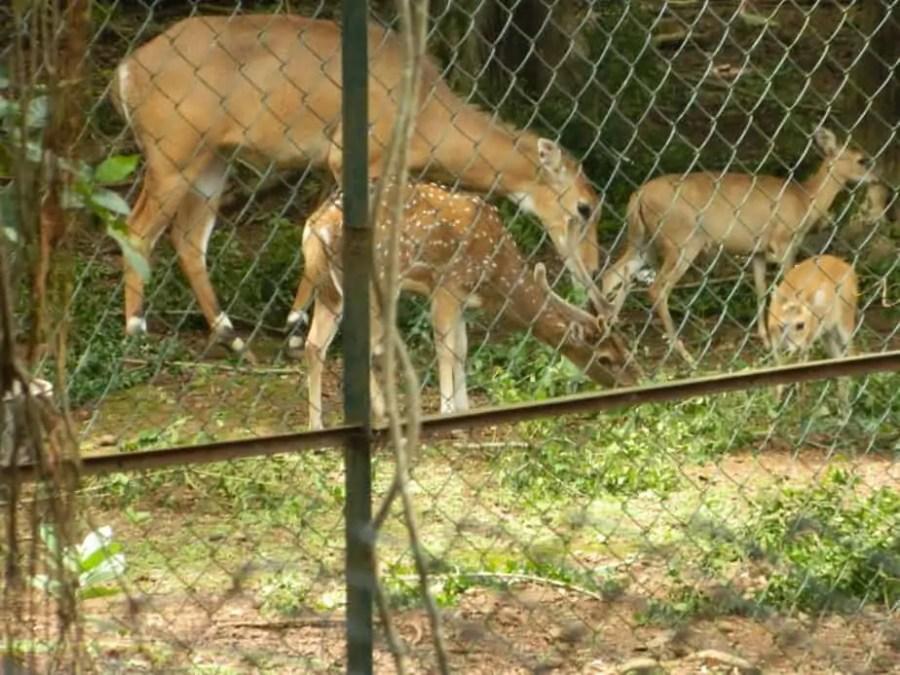 Deer in Sanjay Gandhi National Park - Zoo at Mumbai