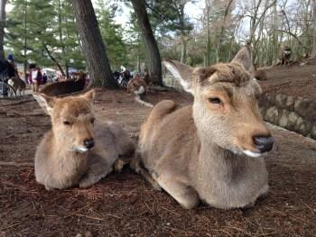 奈良にはなぜ鹿がいるの?地元民が解説するよ
