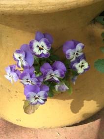 Sweet Viola