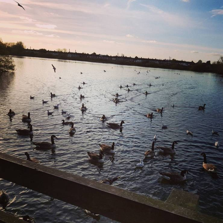 ducks-swimming-on-a-lake