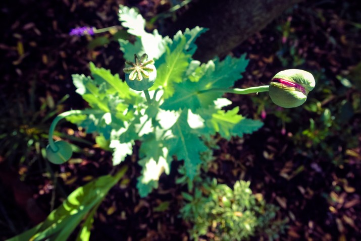 Poppy heads - near to flowering. Pink Fizz variety.