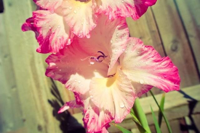 Gladioal in full bloom
