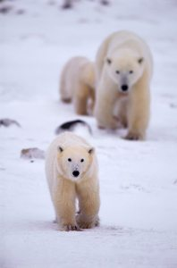 Polar Bear female with two cubs, Canada