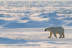 Polar bear, Spitsbergen, Norway