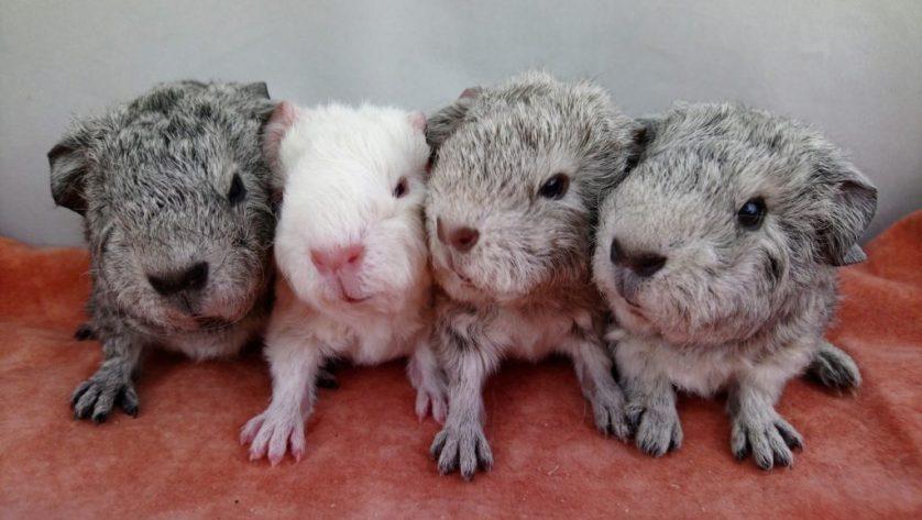 guinea pigs, baby guinea pigs, new guinea pig