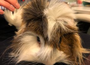 Worrying about Cedric the guinea pig