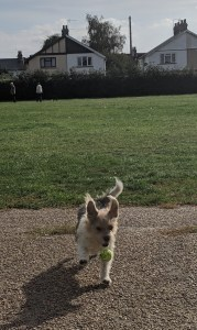 Dog catching ball at park