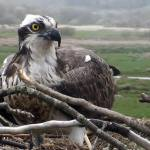 Dyfi Osprey Project, Snowdonia