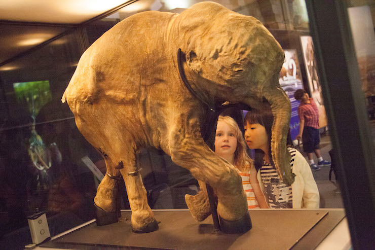 Lyuba the baby Mammoth, copyright Natural History Museum